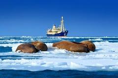 在冰的北极巡航 海象,海象属rosmarus,从大海在背景, Svalba中非常突出在Pebble海滩,被弄脏的小船 免版税图库摄影