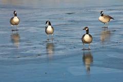 在冰的四只加拿大鹅 免版税库存图片