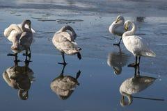 在冰的四只鸭子 免版税库存图片
