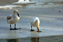 在冰的天鹅 免版税库存图片