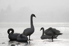 在冰的天鹅 图库摄影