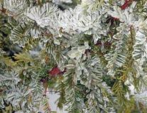 在冰的常青树 免版税库存照片