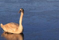 在冰的幼小疣鼻天鹅 免版税库存图片