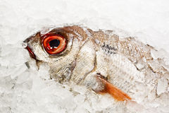 在冰的新近地被捉住的鱼 免版税图库摄影