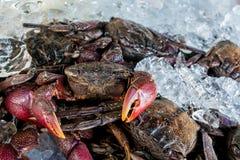 在冰的新鲜的死的美洲红树螃蟹Sesarma mederi 图库摄影