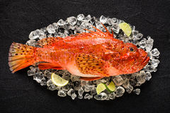 在冰的新鲜的石头鲈在一张黑石桌上 免版税库存图片