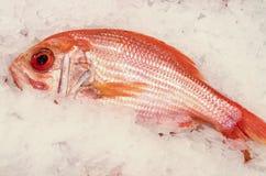 在冰的新鲜的红鲷鱼 免版税库存图片