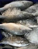 在冰的新鲜的鲈鱼在市场上 库存照片
