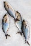 在冰的新鲜的鲈鱼 免版税库存照片