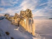 在冰的杉木 一棵小树在冬天 免版税库存照片