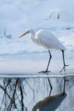 在冰的极大的空白白鹭 免版税库存图片