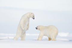 在冰的极性战斗 两战斗在流冰的北极熊在北极斯瓦尔巴特群岛 野生生物与两北极熊的冬天场面 有效地 免版税库存图片