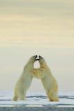 在冰的极性跳舞 两战斗在流冰的北极熊在北极斯瓦尔巴特群岛 野生生物与两北极熊的冬天场面 acti 免版税库存图片