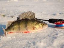 在冰的栖息处 免版税库存图片