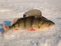 在冰的栖息处 免版税库存照片