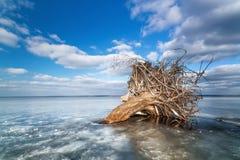 在冰的死的树 免版税库存照片