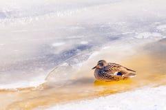在冰的母鸭子 库存照片