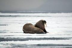 在冰的海象 免版税库存图片