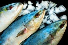 在冰的海鱼金枪鱼在黑背景 r 免版税库存照片