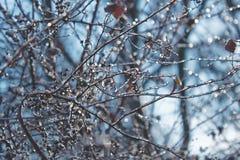 在冰的灌木分支在冬天 免版税库存图片