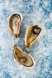 在冰的牡蛎 库存图片