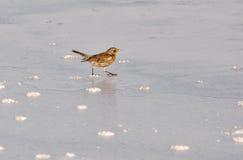 在冰的狂放的鸟冬天 库存图片