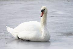 在冰的疣鼻天鹅,冬天 免版税库存图片