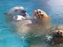 在冰的白色北极熊猎人在水中滴下 库存照片