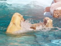 在冰的白色北极熊猎人在水中滴下 库存图片