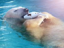 在冰的白色北极熊猎人在水中滴下 免版税库存照片
