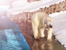 在冰的白色北极熊猎人在水中滴下 图库摄影
