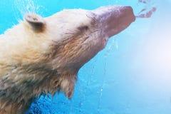 在冰的白色北极熊猎人在水中滴下 免版税图库摄影