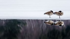 在冰的睡觉鹅睡觉在冰的 免版税库存图片
