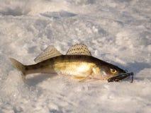 在冰的矛鸟类栖息处 库存图片
