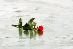 在冰的红色玫瑰 库存照片