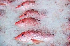 在冰的红鲷鱼 库存图片