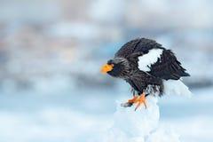 在冰的老鹰 与雪的冬天俄罗斯 野生生物行动从自然的行为场面 Widlife俄罗斯 Steller ` s海鹰, Haliaee 免版税库存照片