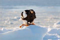 在冰的老鹰 与雪的冬天日本 美丽的Steller ` s海鹰, Haliaeetus pelagicus,与抓住鱼的鸟,与白色雪, 免版税库存图片