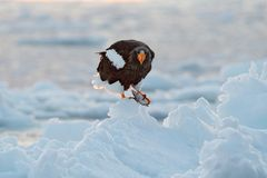 在冰的老鹰 与雪的冬天日本 美丽的Steller ` s海鹰, Haliaeetus pelagicus,与抓住鱼的鸟,与白色雪, 库存图片