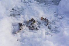 在冰的被抓的鱼 鱼捕鱼冰谎言俄国transbaikalia捕捉冬天 冬天和雪 免版税库存图片