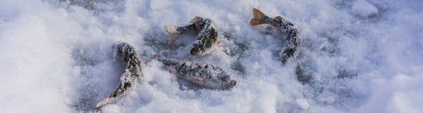 在冰的被抓的鱼 鱼捕鱼冰谎言俄国transbaikalia捕捉冬天 冬天和雪 库存图片