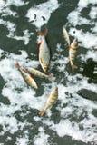 在冰的被抓的鱼 库存照片