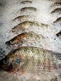 在冰的许多罗非鱼鱼 库存图片