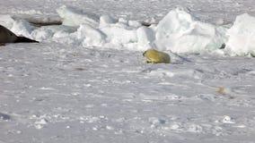 在冰的逗人喜爱的新出生的小海豹寻找妈妈 股票录像