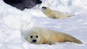 在冰的逗人喜爱的新出生的小海豹寻找妈妈 股票视频