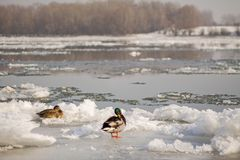 在冰的野鸭鸭子 库存照片