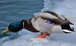 在冰的野鸭 免版税图库摄影