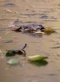 在冰的青蛙 库存照片