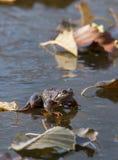 在冰的青蛙 免版税库存照片