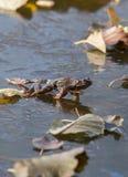 在冰的青蛙 库存图片